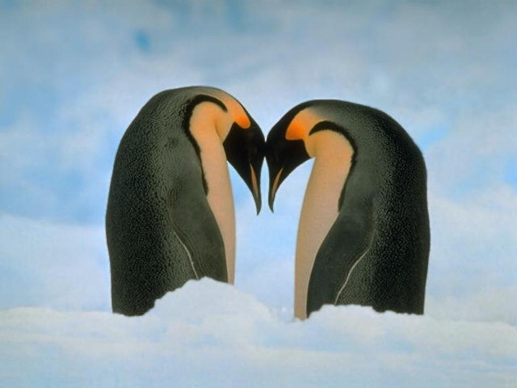 Pingüinos-enfrentados